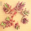 「オーロラ」を葉挿しで育てたら…「虹の玉」になった件