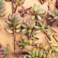 多肉植物の「斑点病 or ハダニ」を調査中