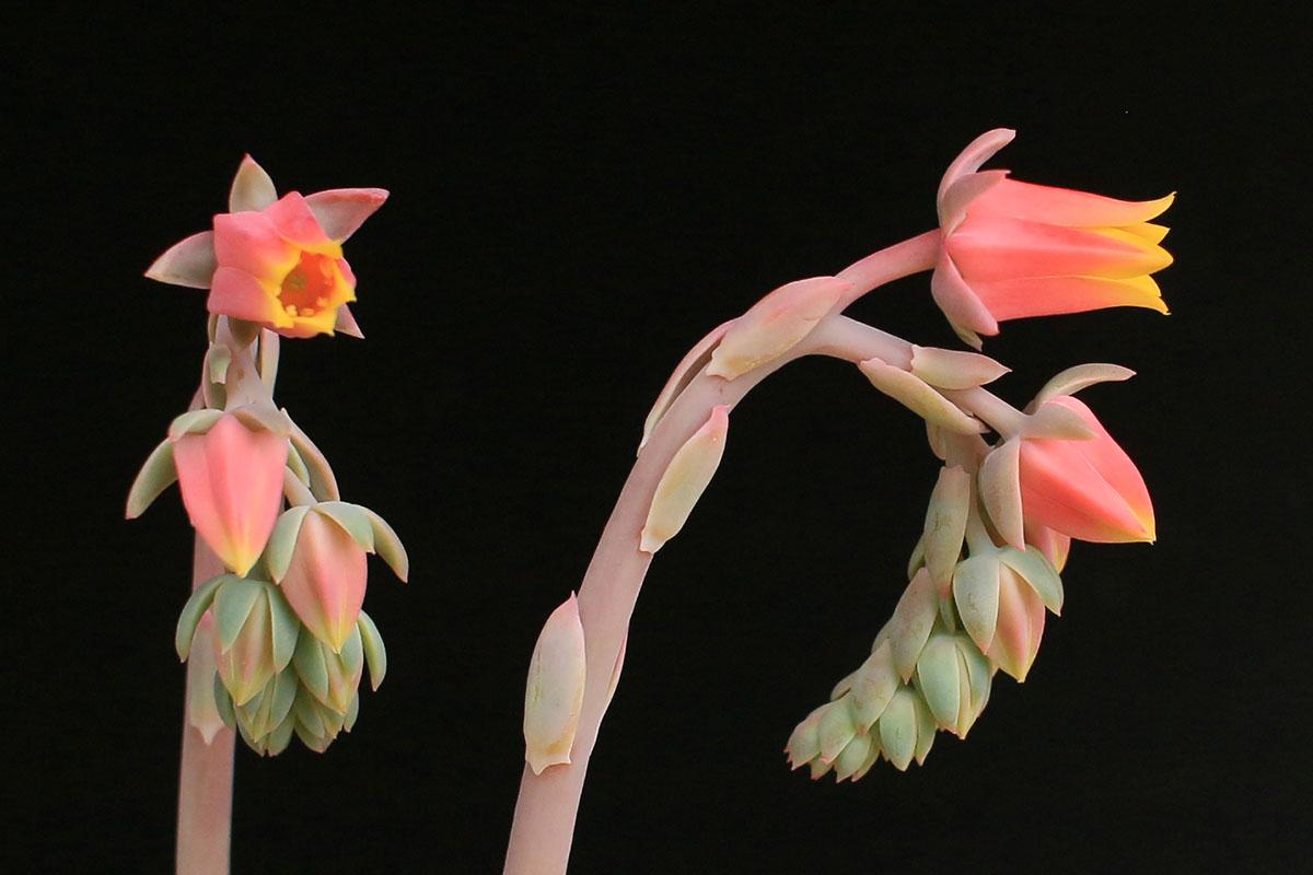七福神の花01